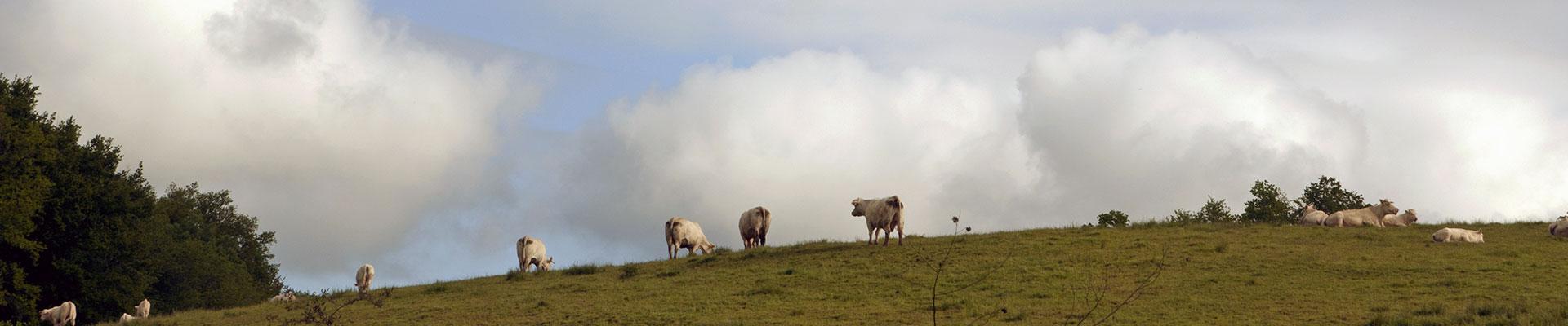 Vaches et veaux charolais du GAEC Salles au pré