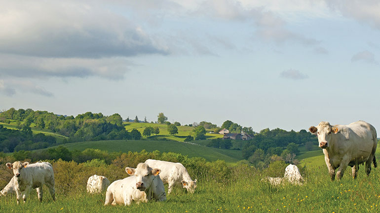 Vaches charolaises dans les prés du GAEC Salles